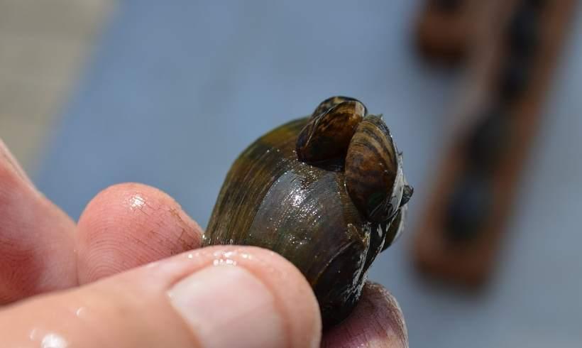 Invasive Zebra Mussels LurkingfromAquarium Decor Stores in the US