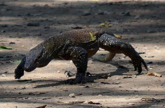 Komodo_Dragon_juvenile,_Komodo,_2016_(wikimedia commons)