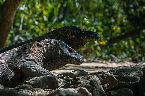 indonesia-komodo-island-lizards-island-thumbnail