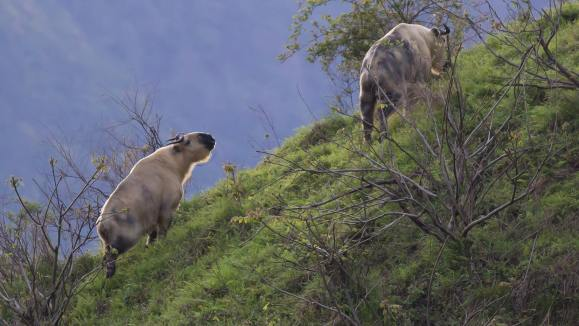 Takin (The Nature Conservancy)