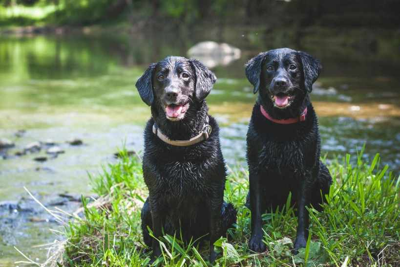 Who's A Good Dog?! These Two Labradors Can Sniff Out Invasive Species