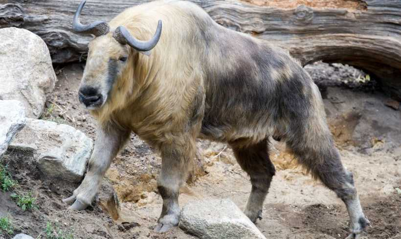 Meet Takin, The Most Badass Animal From The Height Of Himalaya