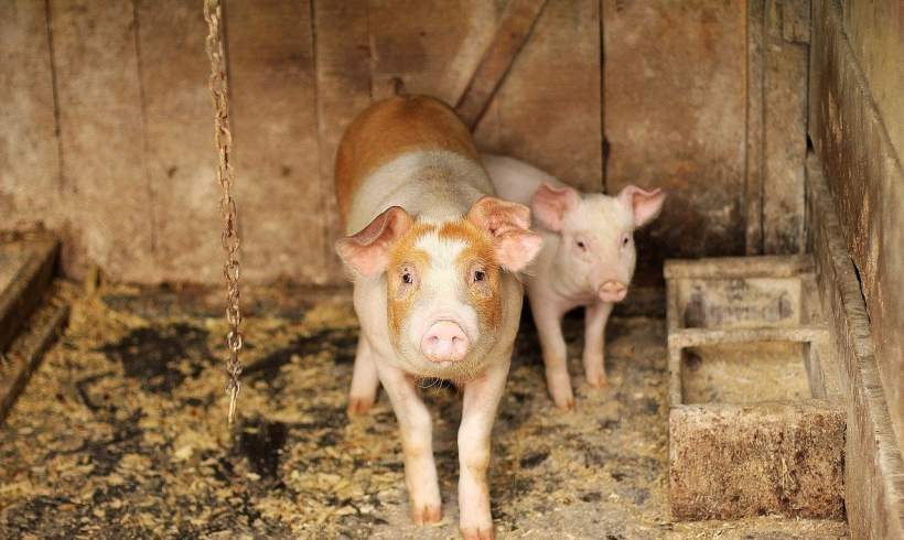 Did You Know? Pig Farming Can Be More Environment-Friendly Now