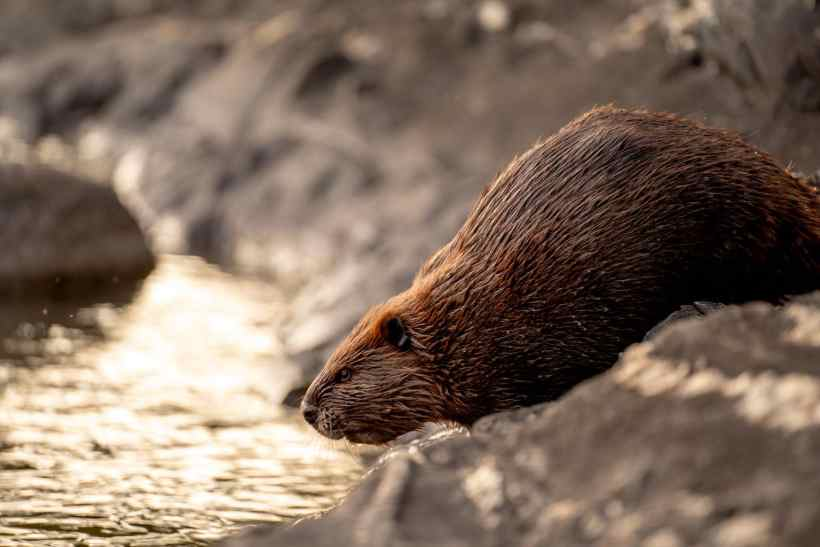 """What to Do with """"Bad"""" Beavers? Relocate Them to Help Salmon Thrive"""