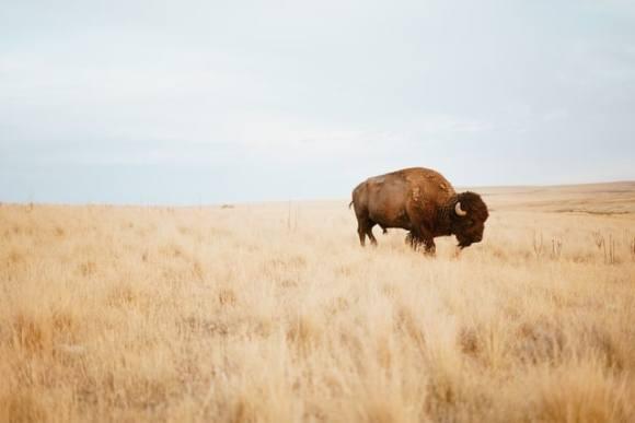 bison wildfire