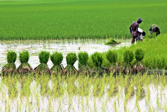 Agriculture_in_Bangladesh_(wikimedia commons)