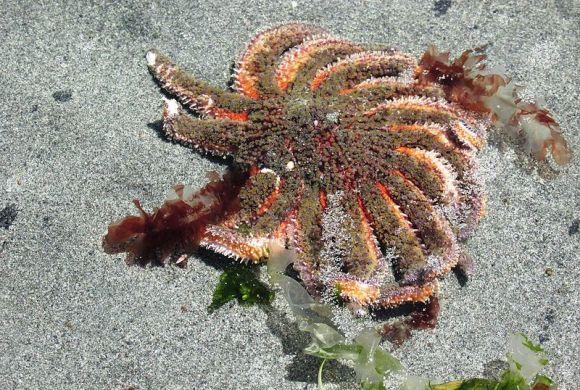 Sunflower sea star (Wikimedia commons)